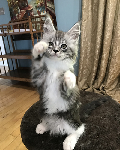 BigLuvMaineCoons – Kittens for Sale